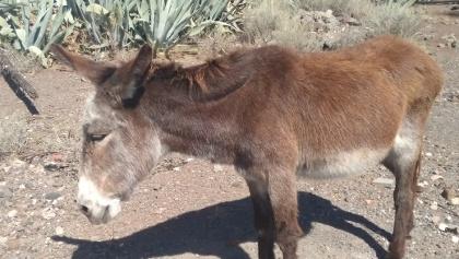 Esel von Arguayoda