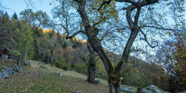 Chestnut grove in Campi