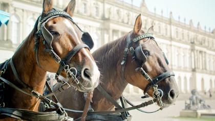 Angeschirrte Pferde