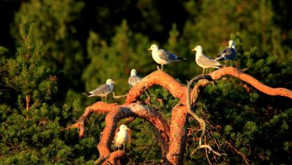 Birds in Liminka Bay