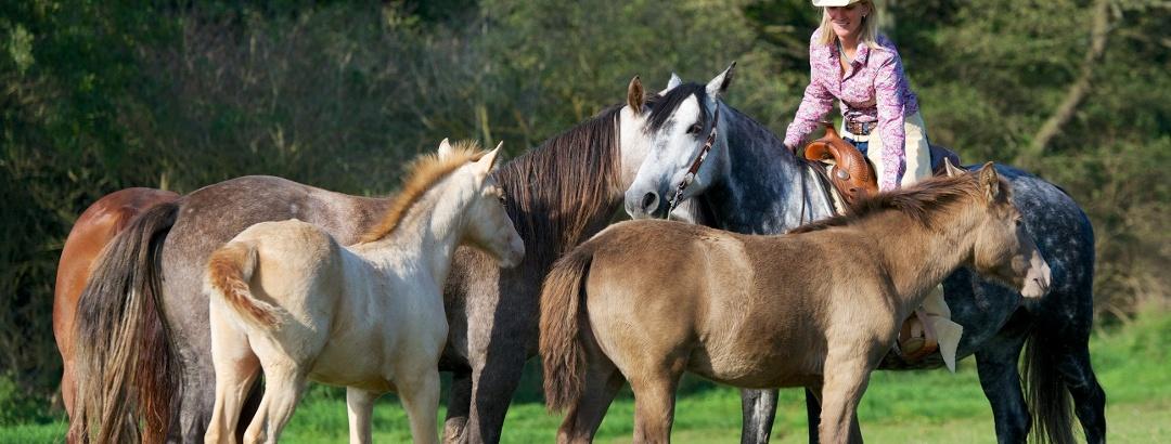 Missouri Foxtrotter- und Quarter Horse Zucht