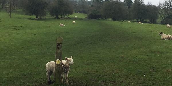 Lambs show the way