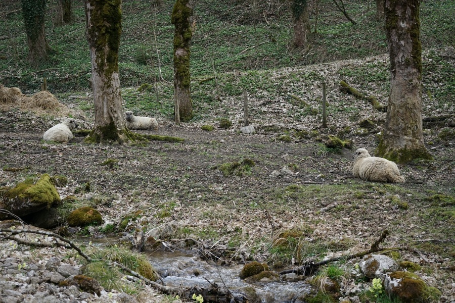 Schafe am Zellboden
