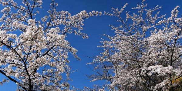 Kirschblüte im Rosengarten.