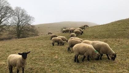 Schafsherde in den Zickerschen Bergen.