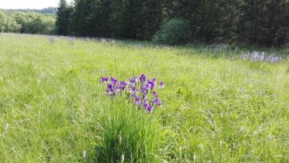 Blaue Schwertlilie(Blüte mitte Mai)