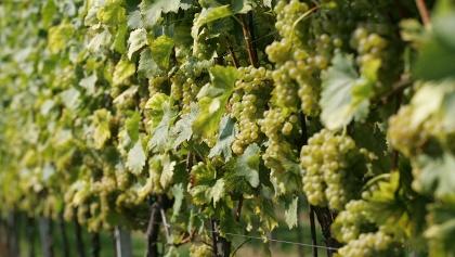 Weingärten mit reifen Trauben