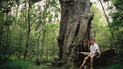Koa- und Ohia-Bäume