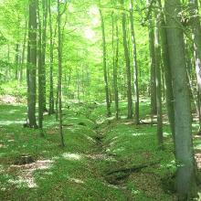 Grüner Buchenwald-Dom