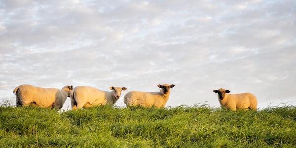 Schafe am Deich der Wurster Nordseeküste