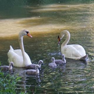 Schwanenfamilie am 'Schwarzer Seeteich