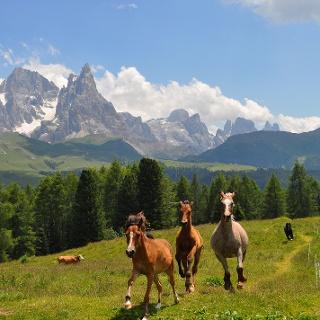 Cavalli e Pale di San Martino sullo sfondo