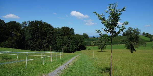 Neue Edelkastanienreihe entlang des Pilgerweges beim Rundweg