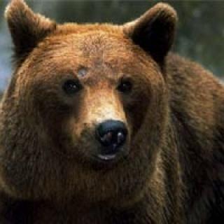 Grizzlybär Nina