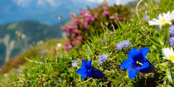 herrlich bunte Blütenpracht im Tennengebirge