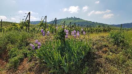 Blick von den Weinberg zur Dagsburg