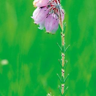 Die Glockenheide (Aufnahme aus der Sistig-Krekeler Heide) hat bewimperte schmale Blätter