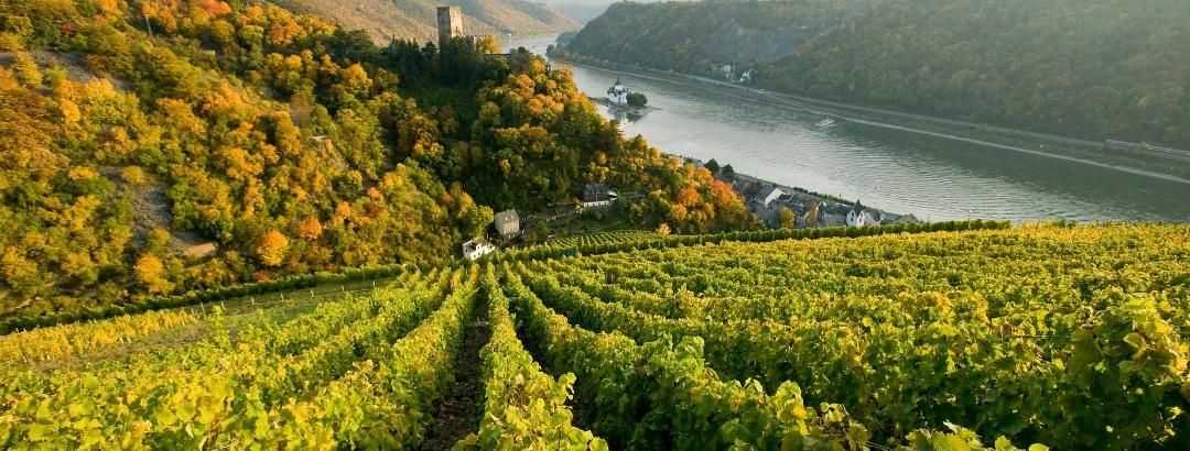 Rheinsteig: Blick auf Reben und die Burg Pfalzgrafenstein