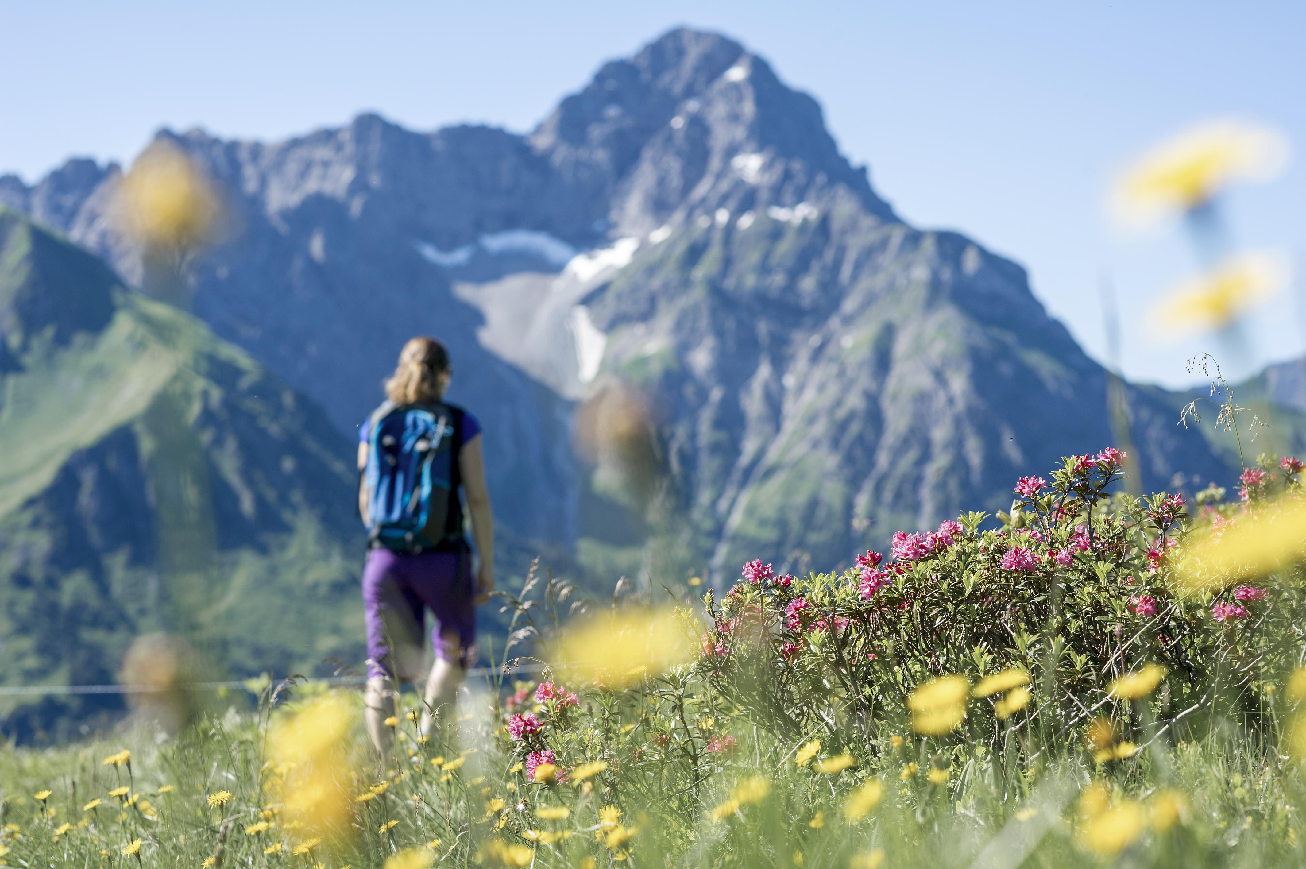 Wandern durch Alpenrosen am Widderstein