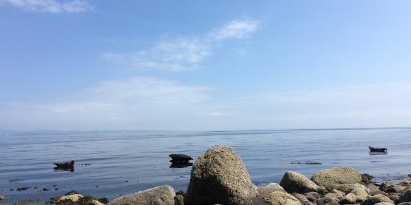 Seals at Sannox Bay
