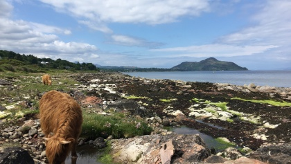 Highland cows and Holy Isle in the background