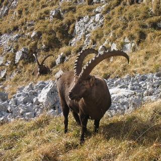 Steinböcke - König der Alpen