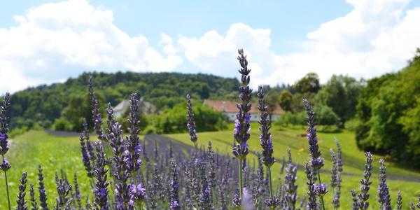 Lavendelfeld in Kitzeck