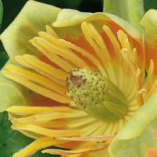 Tulpenbaumblüte