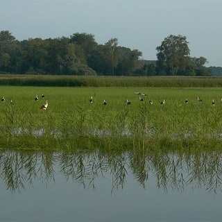 Störche in den Neupotzer Rheinauen