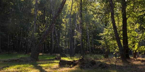 Birchwoods of István-kút