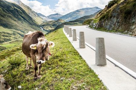 Kuh an der Furkapassstrasse