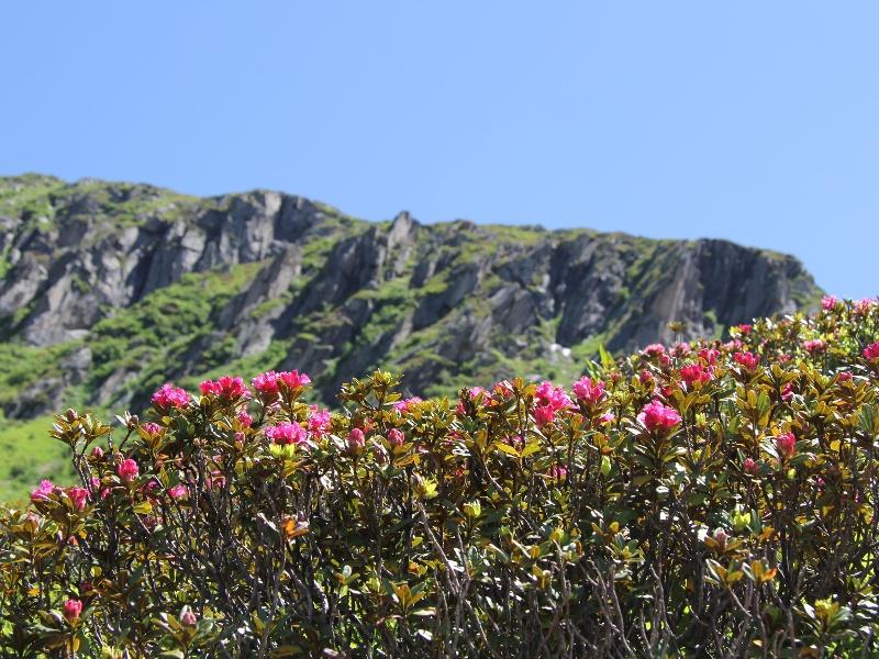 Alpenrosen in der Unteralp