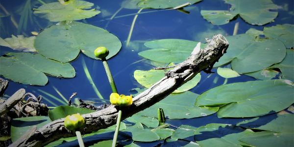 Teichrose am Großen Arbersee