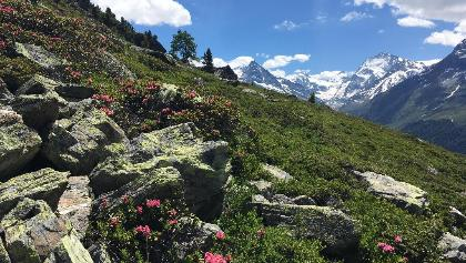 Alpine flowers beside the path