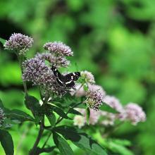 Einer von vielen Schmetterlingen