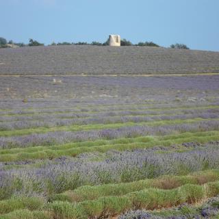 Lavendel rund um La Rostane   ©Ferienhaus La Rostane