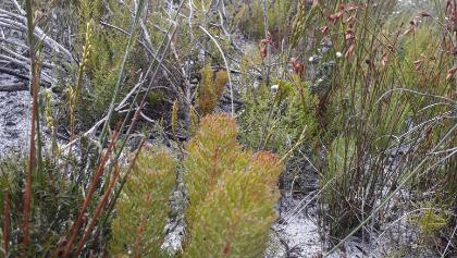 fynbos near the Muizenberg radio mast