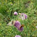 Alpenapollo und andere Schmetterlinge