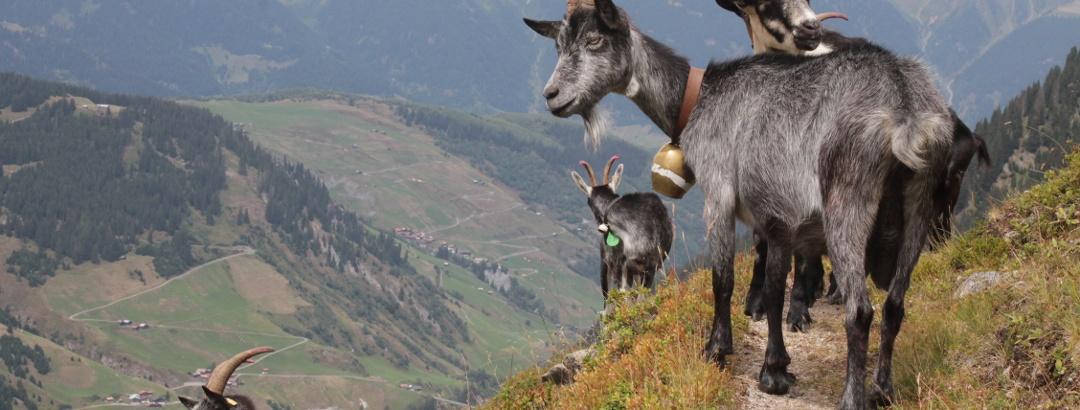 Ziegen von der Alp Puzzetta