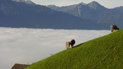 Kühe Thüringerberg Alpila Alpe