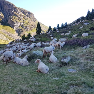 Grazing sheep on the descent from Juclà
