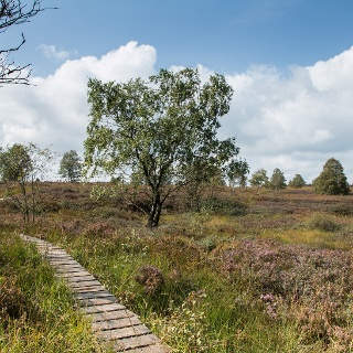 Unsere Tour (16 km, 130 hm) verbindet mehrere Venn-Gebiete: Im Platten Venn, Brackvenn, Imgenbroicher Venn, Steinley und Nahtsief. Durch die einzelnen Gebiete führen schmale Stege und Pfade (7 km), verbunden sind sie durch Wald- und Wiesenwege (6 km) sowie durch Schotterwege und einen Abschnitt mit Asphalt; das lässt sich auf ausgedehnten Wanderungen im Venn kaum vermeiden! Schmale Stege, …