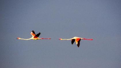 Flamingos im Vorbeiflug