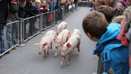 Ferkelrennen beim Oktoberfest in Nieukerk