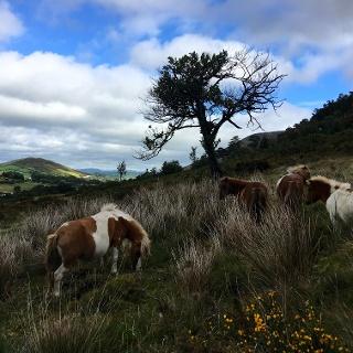 Wild Horses grazing.