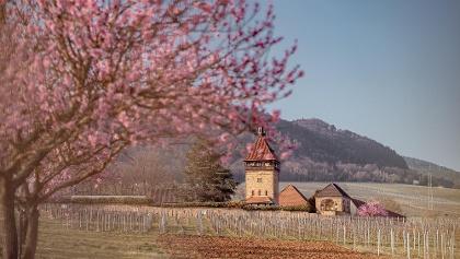 Geilweilerhof zur Mandelblütenzeit