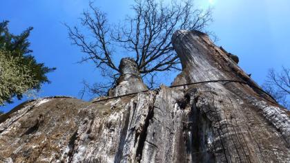 Die 1000-jährige Dicke Eiche in Airlenbach