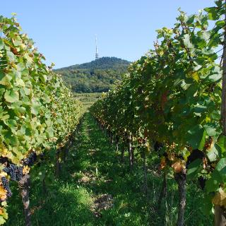 Kaiserstuhl Weinreben