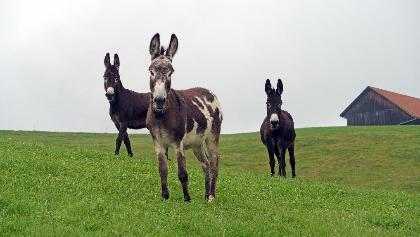 """auf einem weglosen Teil meiner Tour kamen mir auf freier """"Wildbahn"""" diese schönen grossen Esel entgegen gerannt, - der gefleckte war sehr anhänglich und neugierig."""