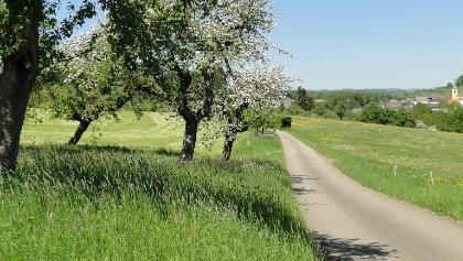 Apfelblüte am Prümradweg bei Holsthum